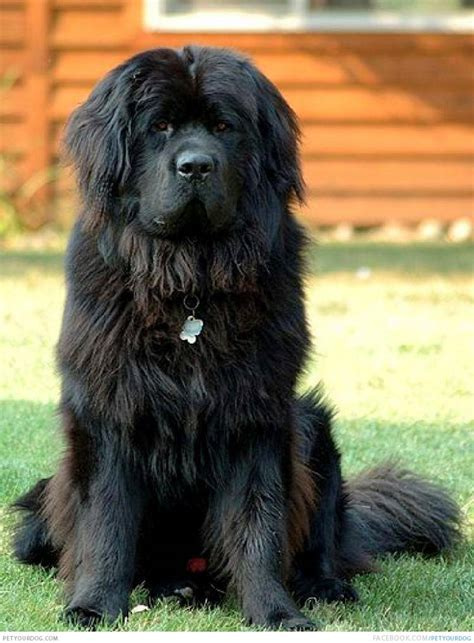 big black dogs newfoundland breeds picture