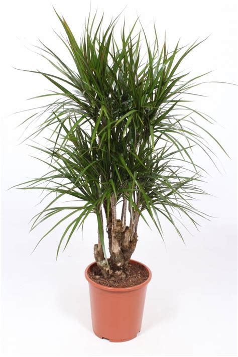 Dracaena Marginata A Beautiful Branched Plant Florastore | dracaena marginata a beautiful branched plant florastore