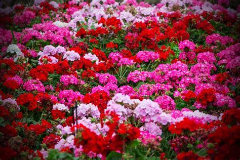 fiori da balcone resistenti al sole quali sono i fiori che resistono al sole foto pollicegreen