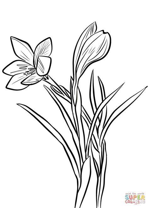 crocus flower coloring page flower coloring pages crocus flower coloring page