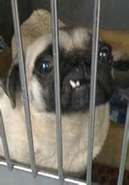pugs in indiana tax code crackdown leads to rescue of 120 puppy mill dogs 183 a humane nation