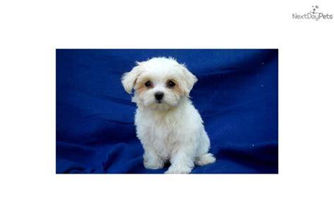 maltese puppies for sale in michigan maltese puppy for sale near arbor michigan 559cc144