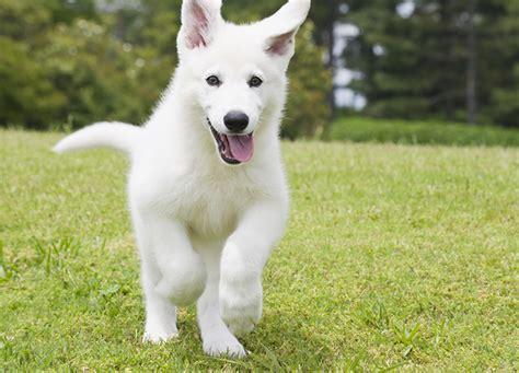 puppy german shepherd german shepherd puppies dogtime