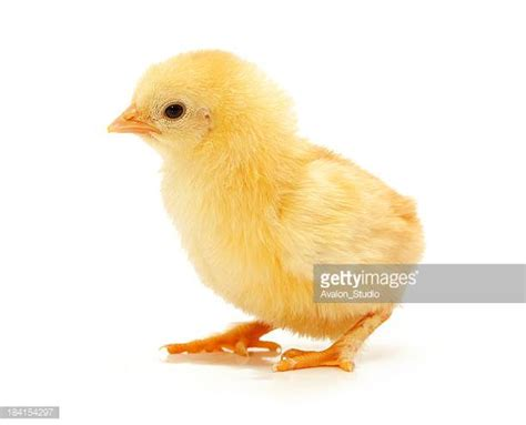small chicken baby stock photos and pictures getty images