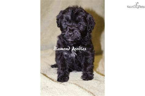 whoodle puppies for sale near me whoodle puppy for sale near joplin missouri 1b907f1a bd21
