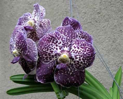 Orchidee Vanda Pflege 3299 by Orchidee Vanda Pflege Vanda Orchidee Pflege Im Topf Und