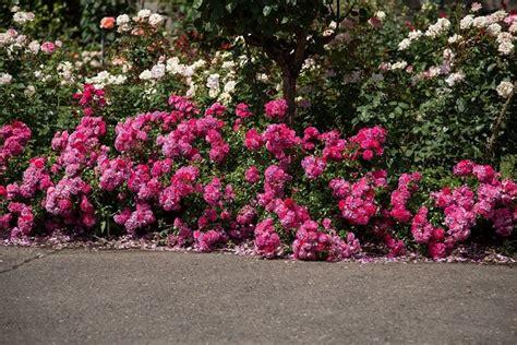 come coltivare le roselline in vaso roselline coltivare le roselline