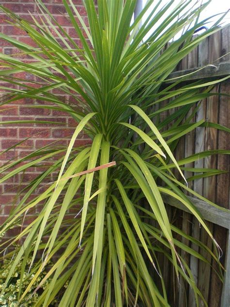 outside plants pruning yucca plants how to prune a yucca
