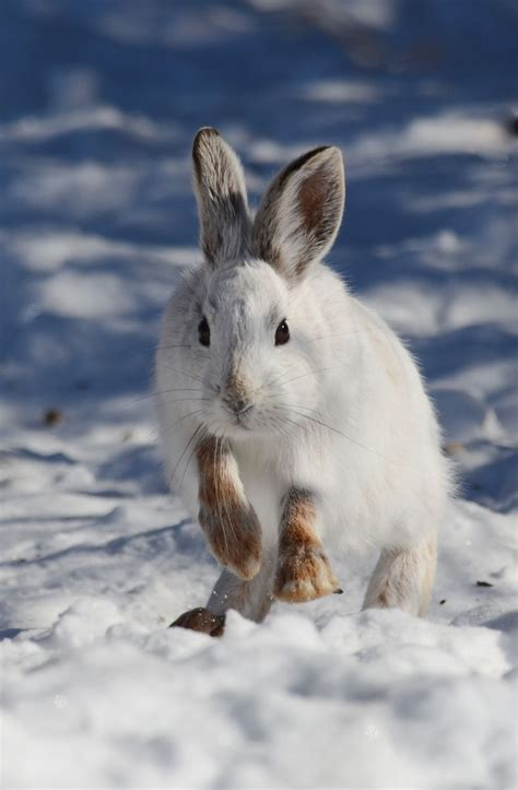 snowshoe images snowshoe hare facts history useful information and