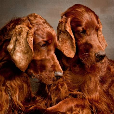 irish setter dog time 17 best images about doggy love goldens doodles