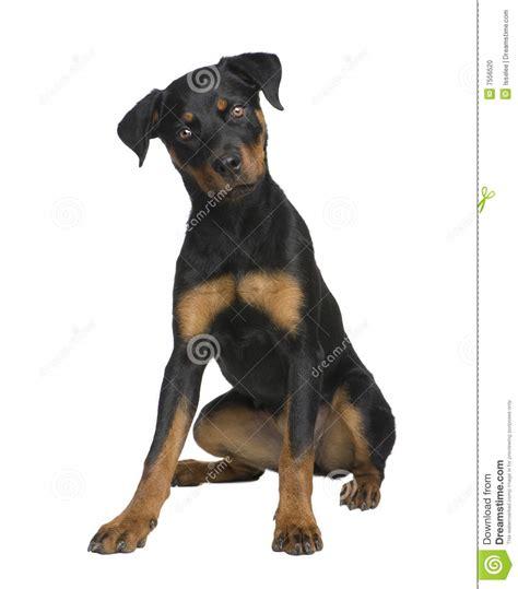 rottweiler 6 months rottweiler puppy 6 months stock photo image 7556520