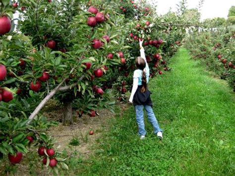 8 facts about apple trees fact file