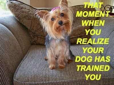 my yorkie is sneezing a lot 191 best images about pets on terrier puppys and yorkie