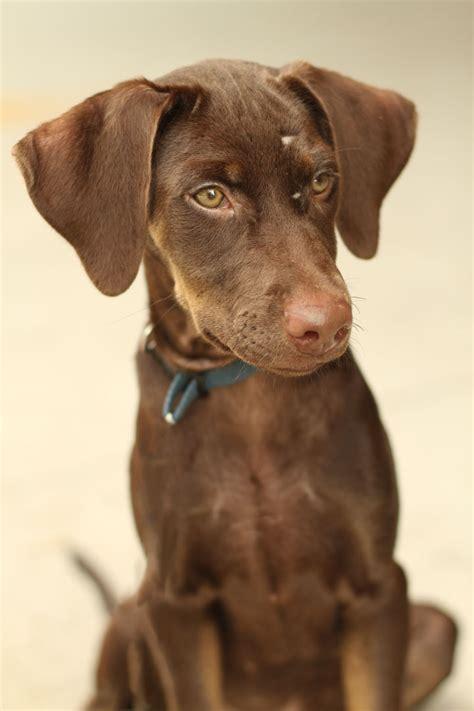 doberman puppy rescue doberman pinscher on doberman pinscher puppy blue doberman puppy and