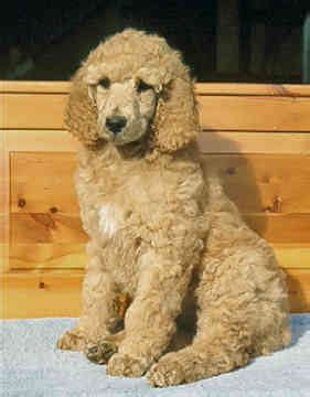 puppy cut poodle about the poodle aussiedoodle and labradoodle puppies best labradoodle breeders in