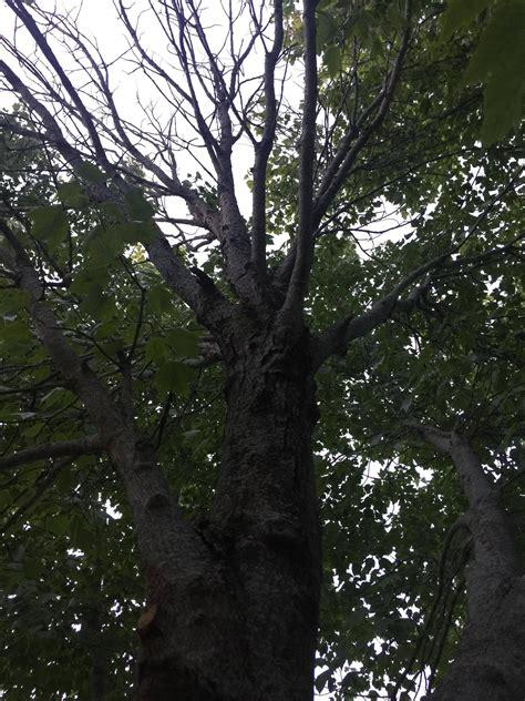 is my maple tree beyond saving gardening landscaping stack exchange
