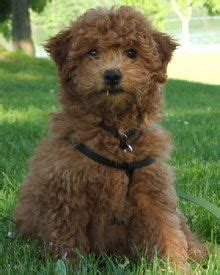 mini goldendoodle alberta miniature goldendoodle puppy if i could a zoo