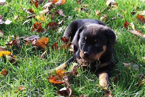 do rottweiler shed 28 rottweiler facts everyone needs to tanipertani
