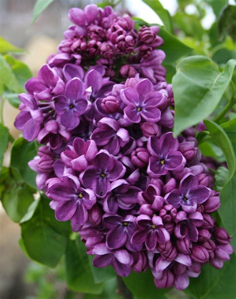 lilacs bush garden musings lilac weeks