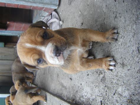 rottweiler for sale melbourne for sale rottweiler x american bulldog