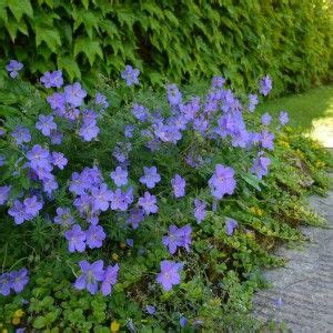 les 25 meilleures id 233 es de la cat 233 gorie blue geranium sur