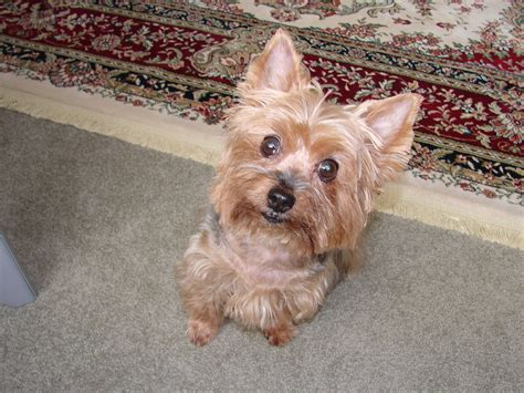 yorkie behavior traits terrier facts pictures price and breeds