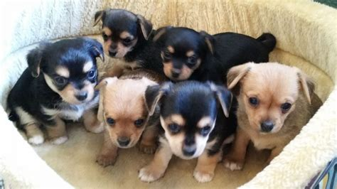 chorkies puppies for sale 6 chorkies puppies wotton edge gloucestershire pets4homes