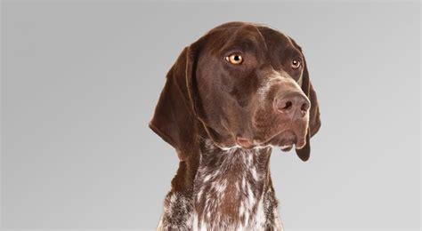 german shorthair german shorthaired pointer breed information american kennel club