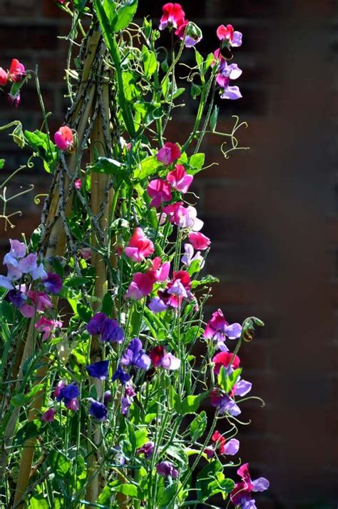 how to grow sweet peas http www sweetpeas org uk how