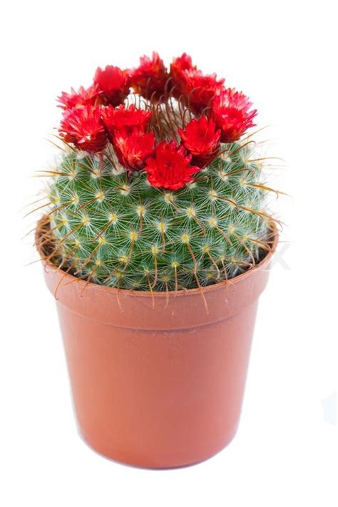 small potted cactus plants stock photo image 68600366 flowering cactus isolated on white background stock