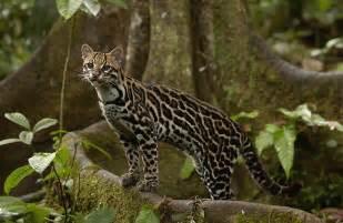 Animal Print Duvet Cover Ocelot Leopardus Pardalis Standing Photograph By Pete Oxford