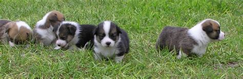 corgi puppy information information for corgi puppies for sale hill country corgis