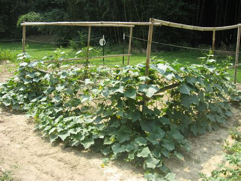 cucumber plant trellis got cucumbers taking root