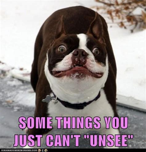 Hyper Dog Meme - slideshow boston terrier memes sure to make you smile