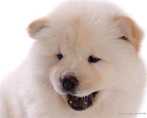 puppy chow puppies images chow chow puppy wallpaper hd wallpaper and background photos 13936824