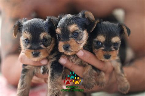hypoglycemia in yorkie puppies yorkie puppies for sale teacup dogs moringa for dogs colorful yorkies merle