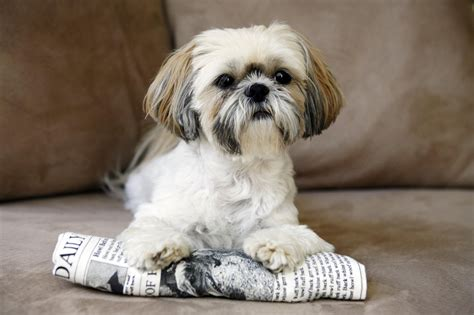 all about shih tzu all about the shih tzu breed