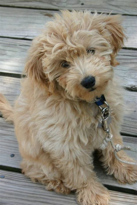 mini goldendoodle traits 34 best images about reasons i need a on