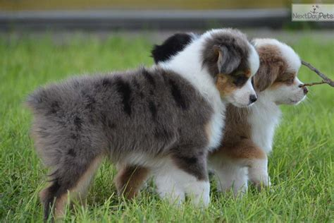 aussie puppies for sale in 25 b 228 sta aussie puppies for sale id 233 erna p 229 mini aussie mini