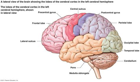 diagram of a brain brain image กรกฎาคม 2013