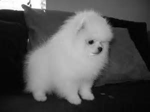 pomeranian for sale in dallas pomeranian puppies for sale in dallas