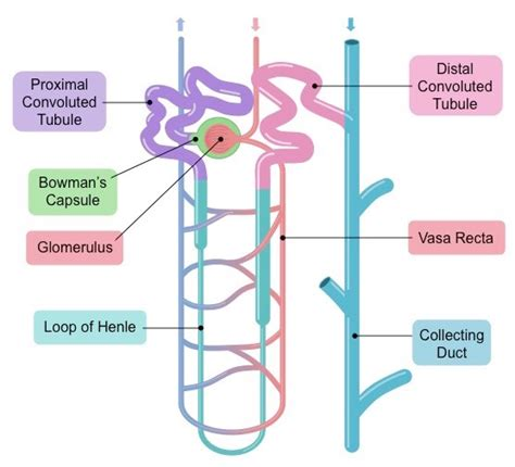 diagram of nephron nephron diagram unmasa dalha