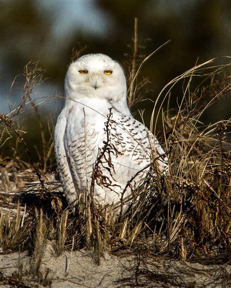 owls on cape cod cape cod snowy owl photograph by carl