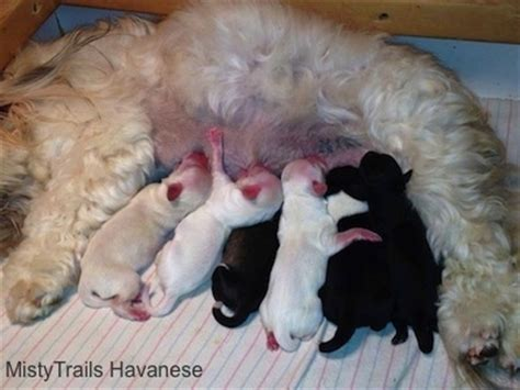 how after green discharge are puppies born whelping puppies early delivery raising puppies