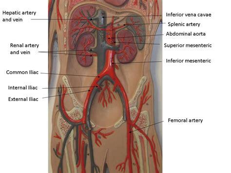 labeled artery diagram vascular system models arteries veins blood cells