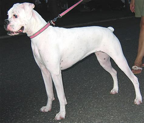 white boxer puppy all wallpapers white boxer pictures