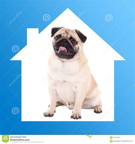 pug dog house safe home concept pug dog sitting in blue house frame stock photo image 67291304