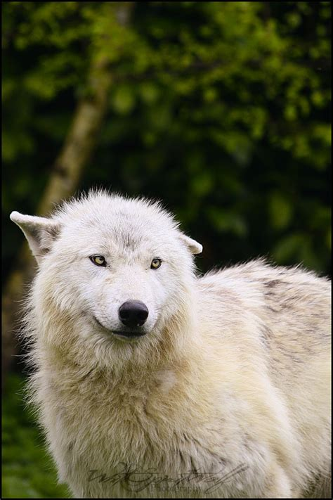 möbel wolf la belleza lobo taringa