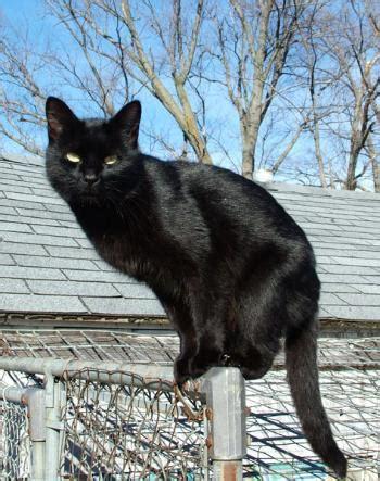 black cat die beliebtesten katzenrassen im m 252 nsterland flohmarkt ms