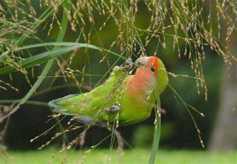 Pakan Lolohan Lovebird Biar Gacor cara merawat lovebird ngekek panjang dari anakan